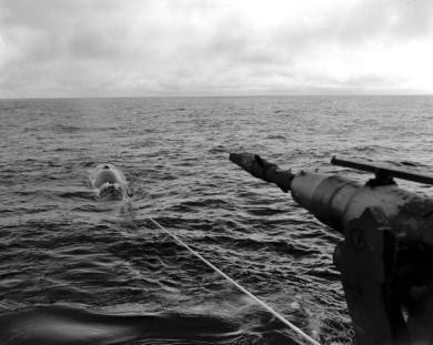 Harpooning fra Kastor hvalskip